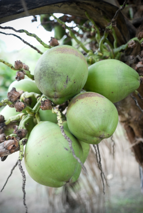 green coconuts in tree